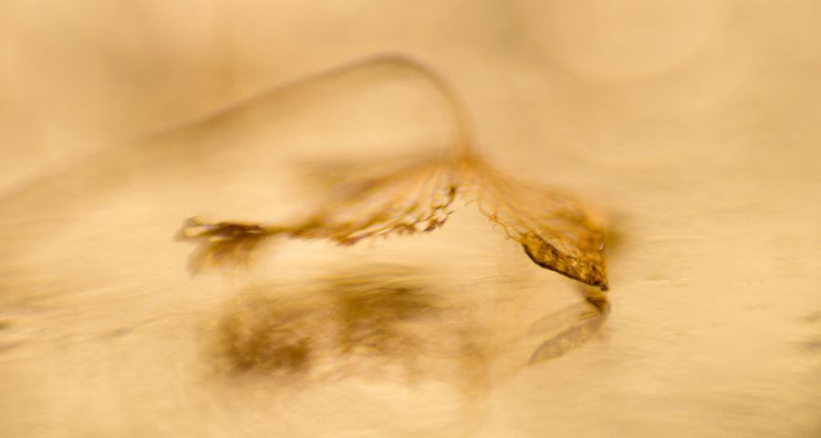 hortensia-blaadje