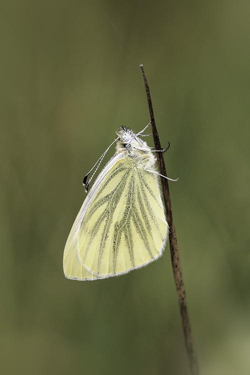 klein-geaderd-witje-vlinder