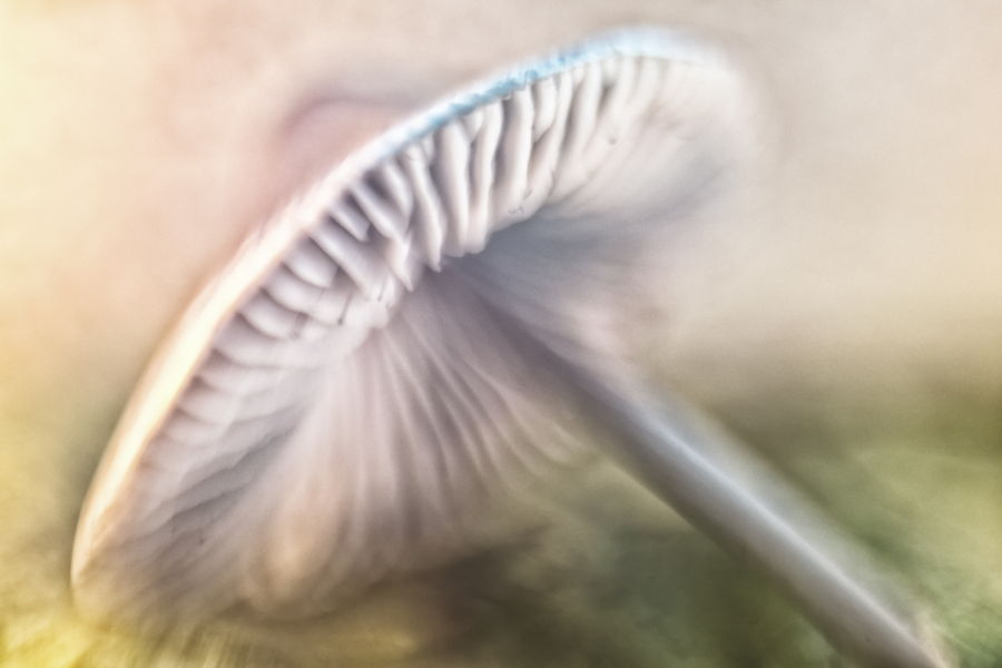 paddestoel-paars