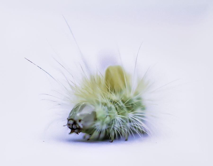 rups-vlinder-meriansvlinder