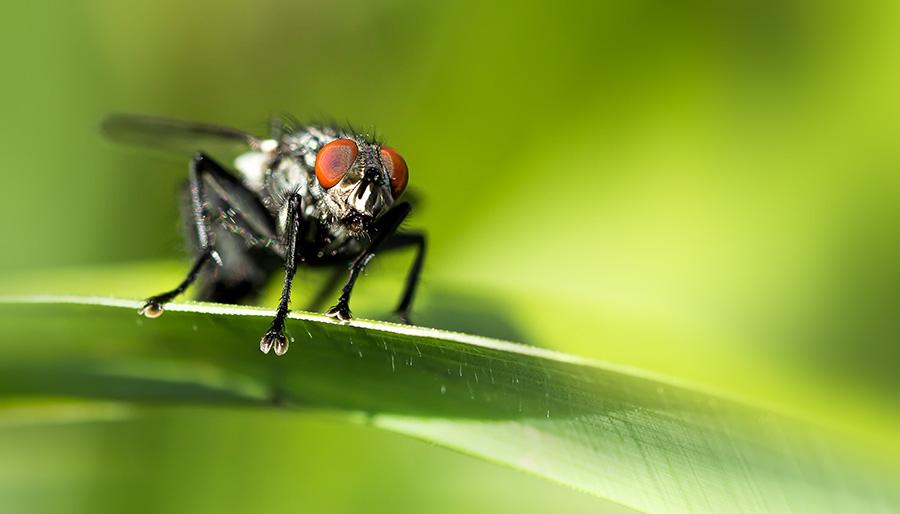 dambord-vlieg-insect