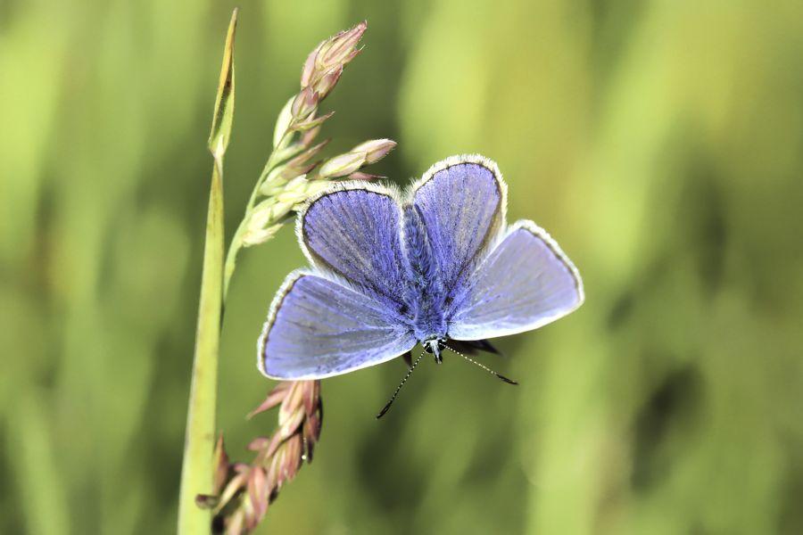 vlinder-blauwtje-icarus