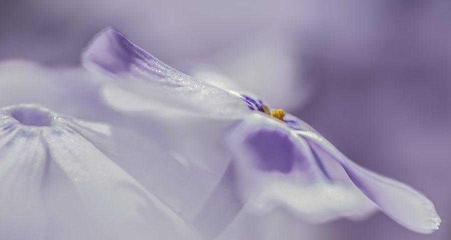 vlambloem - phlox- bloem- paars-tuin