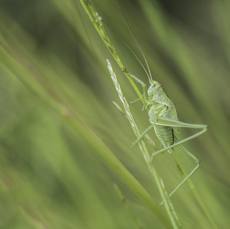 sprinkhaan- rechtvleugeligen-insecten
