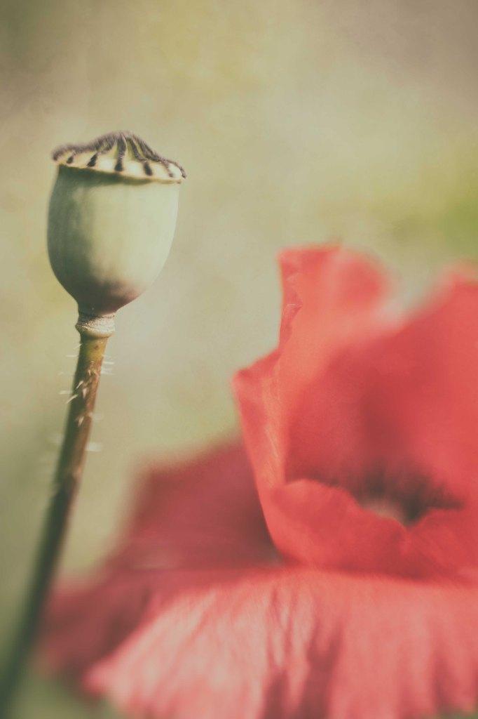 klaproos-poppy-papaver