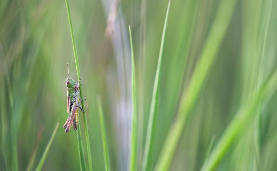 krasser-sprinkhaan-insect