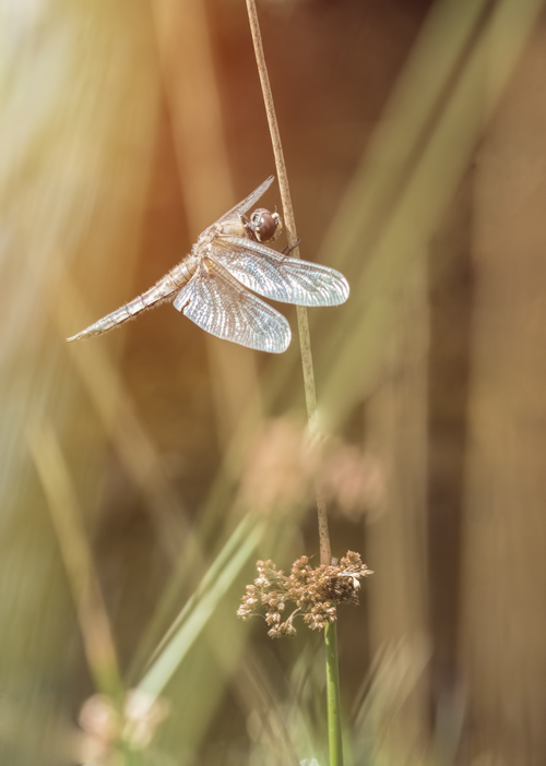 libel-oever-oeverlibel-dragonfly