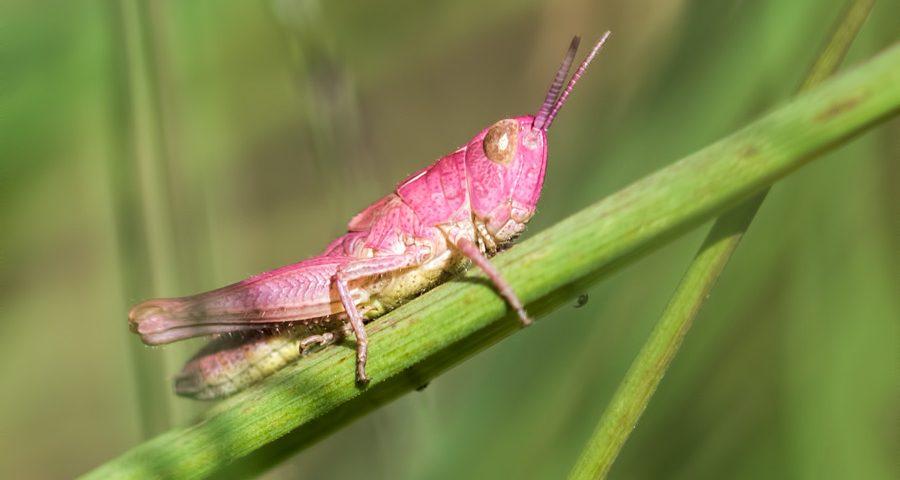 roze-sprinkhaan-krasser-nimf