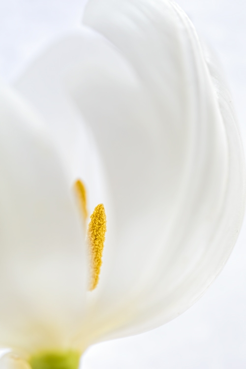 white satin tulip