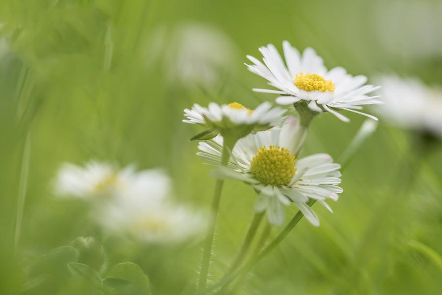 bellis- perennis-madeliefjes-teer-voorjaar