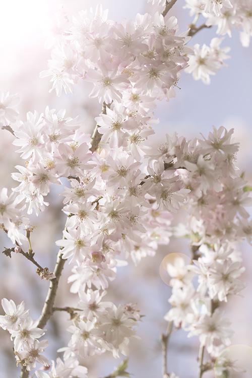 blossom-pink-flower-bloesem