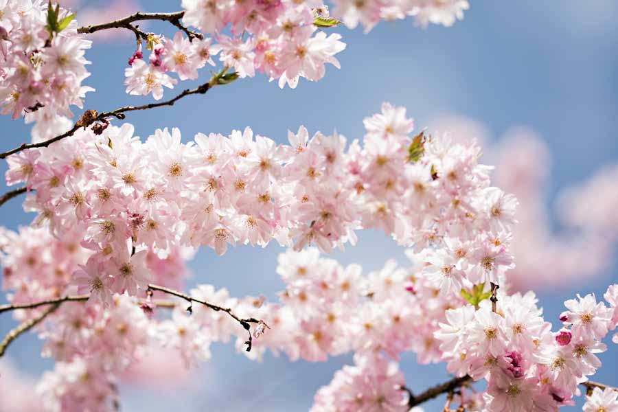 hello- spring-bloemen-lente-roze
