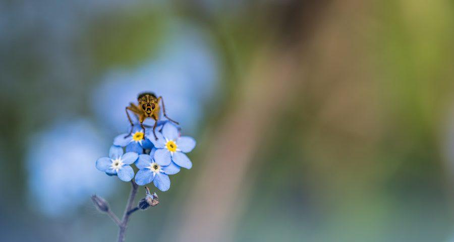 Vlieg-ogen-blauw-vliegen