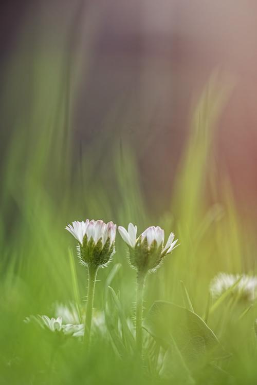madeliefjes-duo-voorjaar-zon-groen-gras