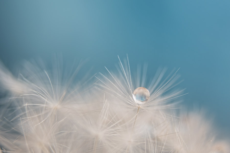 drop of dandelion
