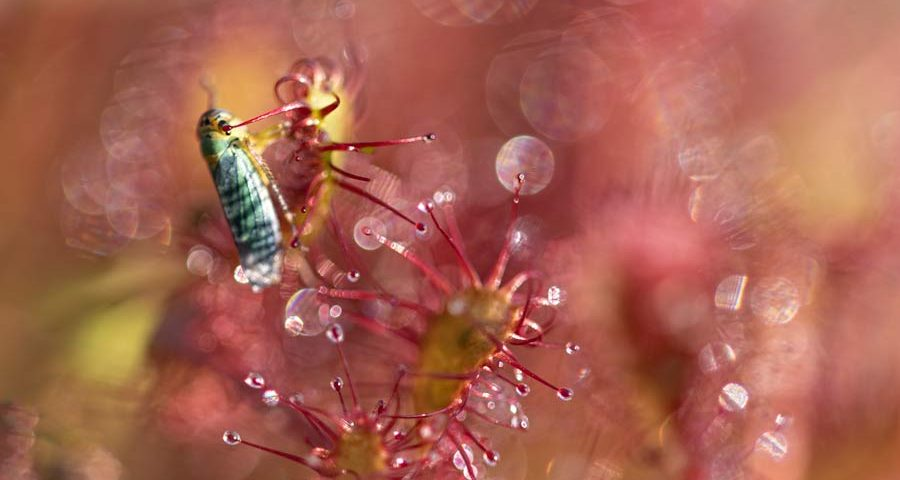 cicade-zonnedauw-bokeh-macro