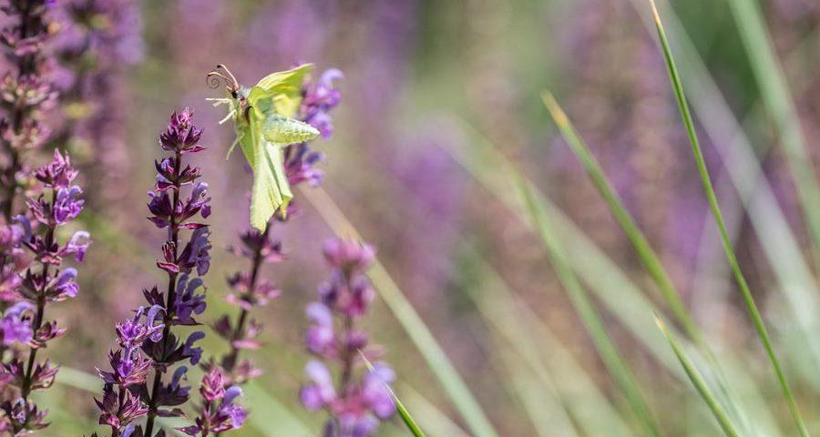 citroenvlinder-vliegend-insect-vlinder