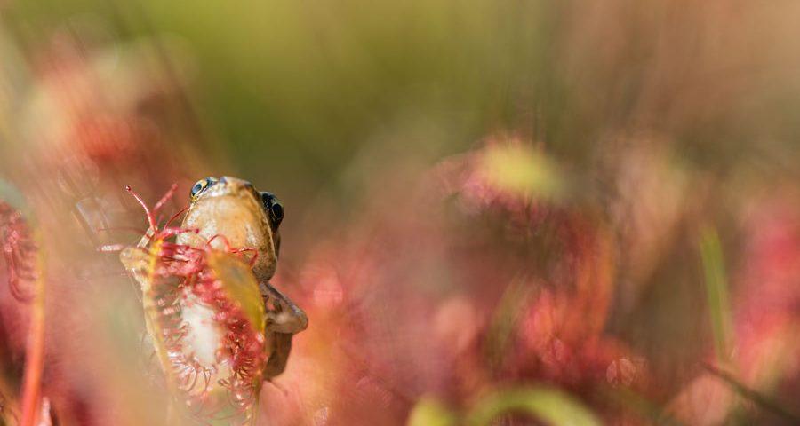 Zonnedauw-sundew-frog-kikker- macro