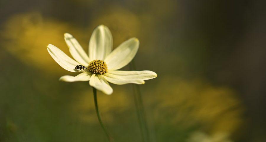 meisjesogen-tuinplant-lieveheersbeestje-bloem