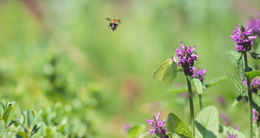 vliegende-bij-citroenvlinder-bloemen