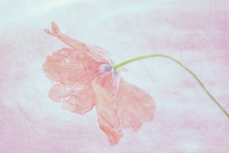 Poppy-klaproos-papavero