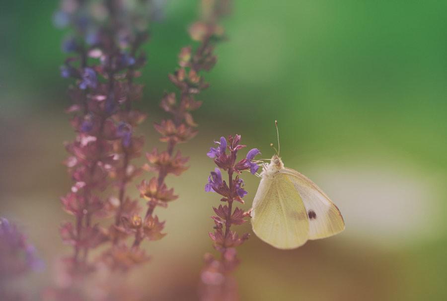 vintage-butterfly-vlinder-koolwitje