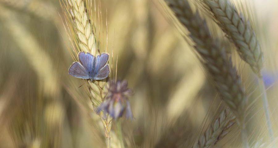 blauwtje-dagvlinder-insect-blauw
