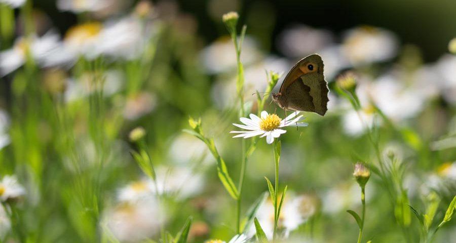 bruin-zandoogje-dagvlinder-insect
