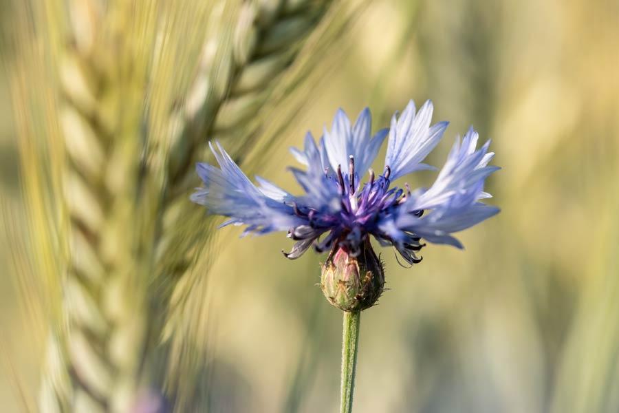 korenbloem-blauw-korenveld-veldbloem
