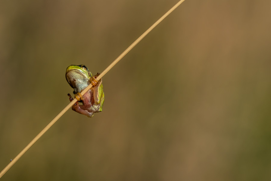 boomkikker-macro-kikkertje