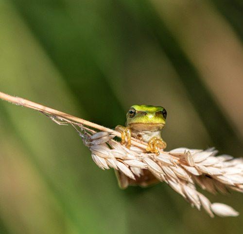 boomkikker-macro-groen