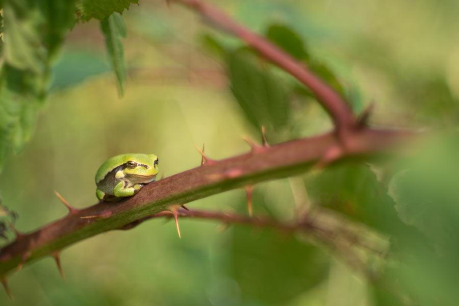 boomkikker-braamstruweel-kikker