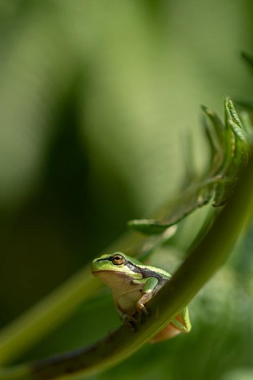 boomkikker-kikker-braamstruweel