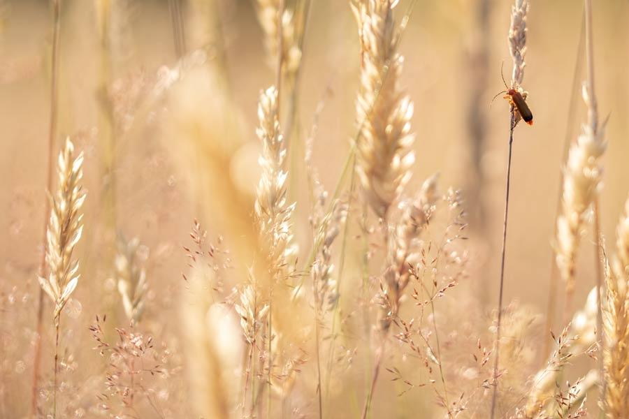bruin-soldaatje-grassen-heide-insect