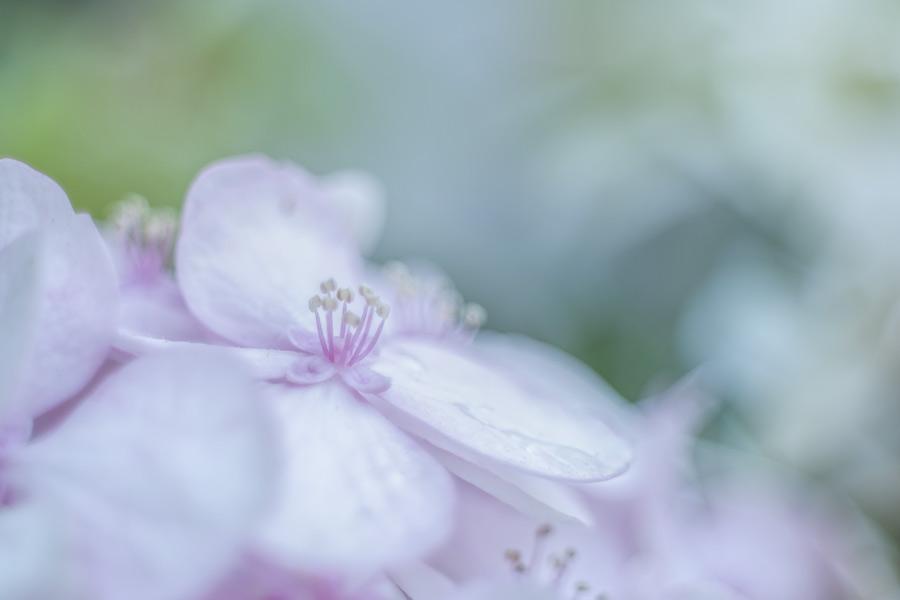 hortensia-macro-roze-hydrangea