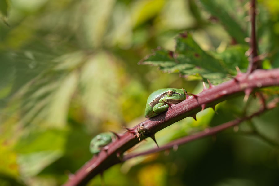 boomkikker-bramenstruweel-zeldzaam