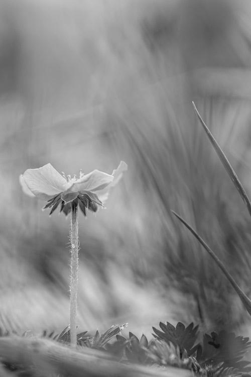 boterbloem-zwart-wit-natuur