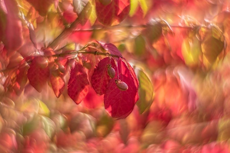 herfst-roodtinten-bladeren
