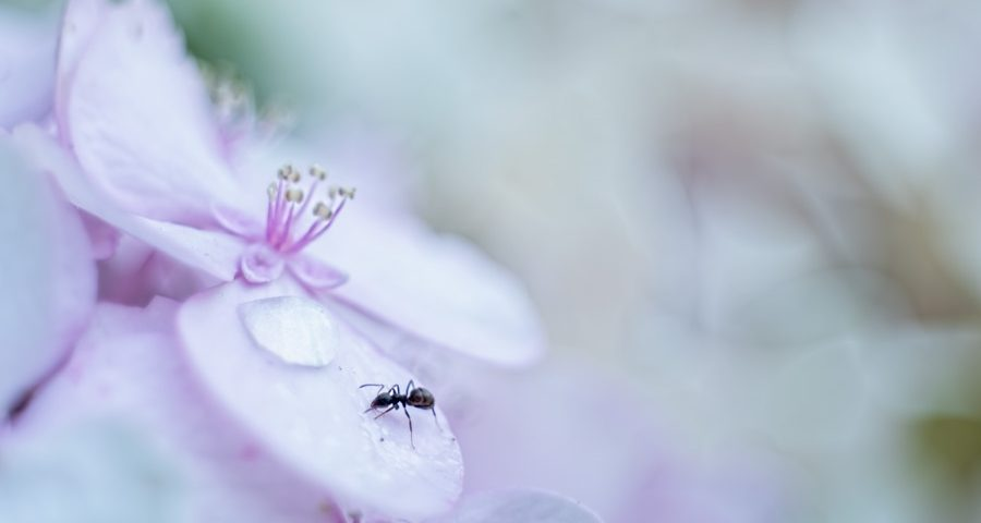 hortensia-mier-zacht-roze