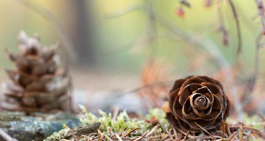 dennenappel-bos-herfst