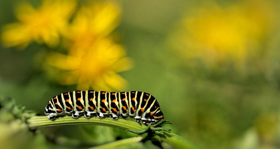 rups-koninginnenpage-vlinder-pages