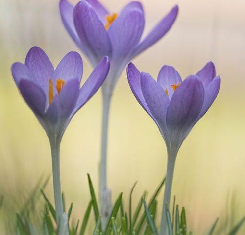 krokus-crocus-voorjaar-natuurfotografie