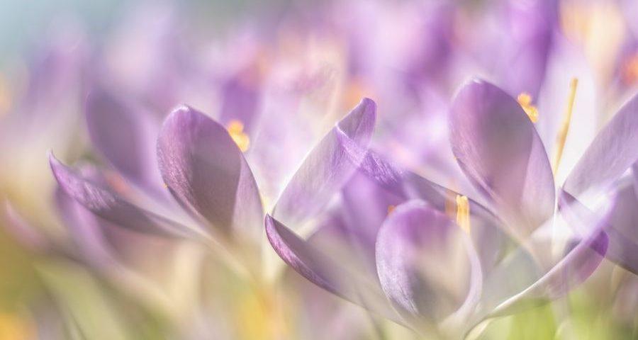 krokussen-crocus-bloem