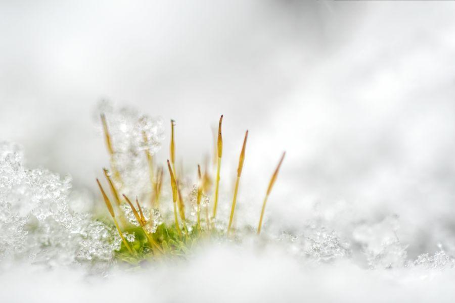 mosjes-sneeuw-macro-winter