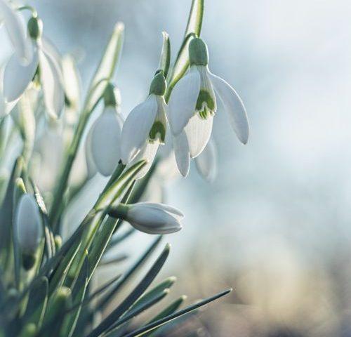 sneeuwklokjes-galanthus-winter-bloem