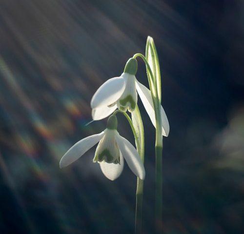 sneeuwklokjes-zonneharp-voorjaar