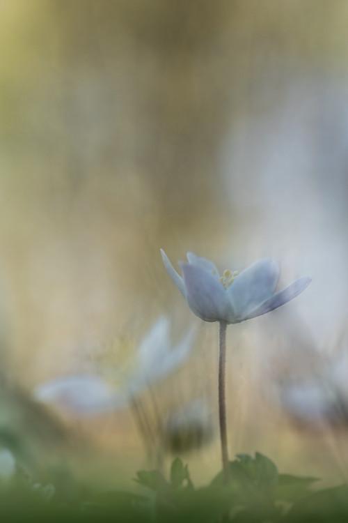 anemoon-natuur-macro