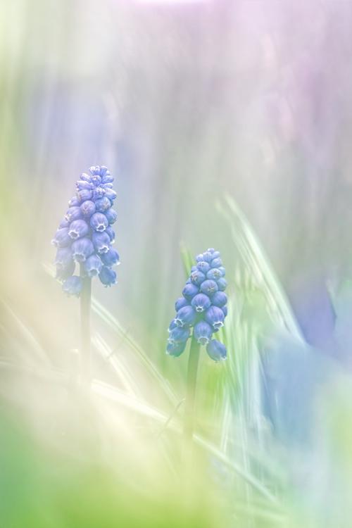 Macrofotografie-voorjaar-blauw-druifje