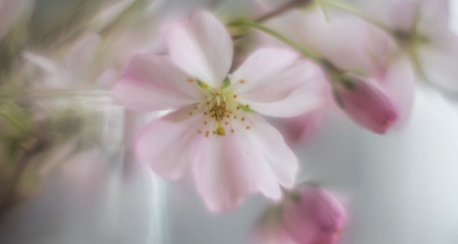 bloesem-helios-romantisch