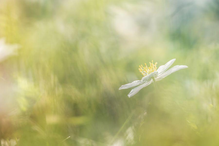 bosanemoon-macro-natuur